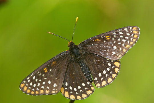 Baltimore Checkerspot (Euphydryas phaeton) in fen Reynolds, Missouri, USA.
