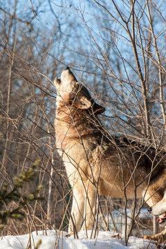 Usa, Minnesota, Sandstone, wolf howling