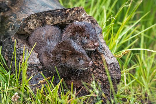 USA, Minnesota, Sandstone, Minnesota Wildlife Connection. Two mink kits in log watching for mother.