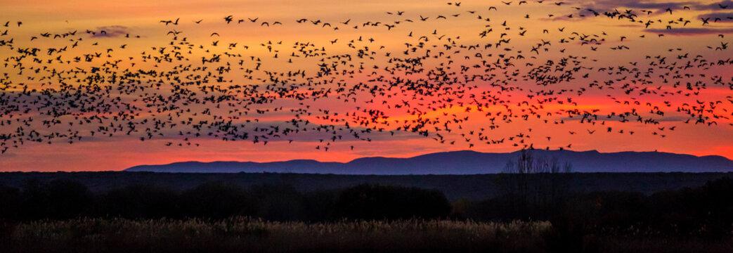USA, Bosque del Apache, birds flying