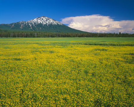USA, Oregon, Deschutes National Forest. Mount Bachelor rises above extensive bloom of subalpine buttercup in wet meadow near Sparks Lake.