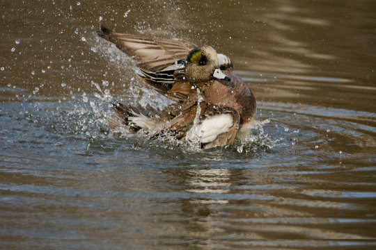 Male American Wigeon, wing flap, Commonwealth lake Park, Beaverton, Oregon