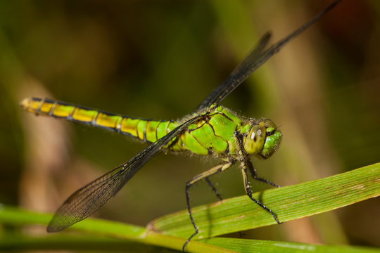 USA, Oregon, Albany, Freeway Ponds Park, a female Western Pondhawk (Erythemis collocata)