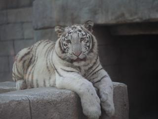 Printed roller blinds Tiger ホワイトターガー