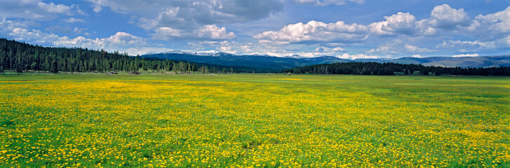 USA, Oregon, Strawberry Mountains. Flowering dandelions fill a pasture in the Strawberry Mountains in eastern Oregon. Wall mural