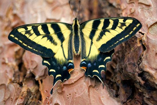 USA, Oregon, Bend. Western tiger swallowtail butterfly on Ponderosa pine bark in Bend, Oregon.