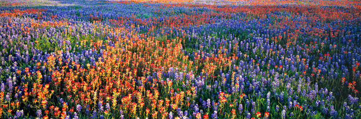 Poster Weide, Moeras USA, Texas, Llano. A colorful pattern is created by bluebonnets and redbonnets in the Texas hill country near Llano.