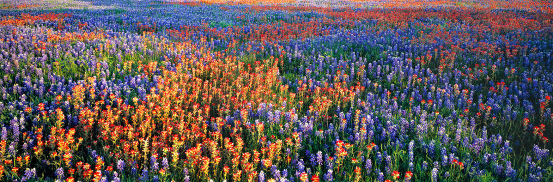 USA, Texas, Llano. A colorful pattern is created by bluebonnets and redbonnets in the Texas hill country near Llano.