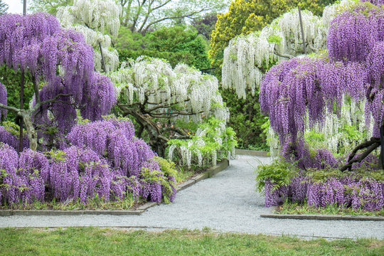 Japanese Wisteria, Longwood Gardens, Kennett Square, Pennsylvania, USA