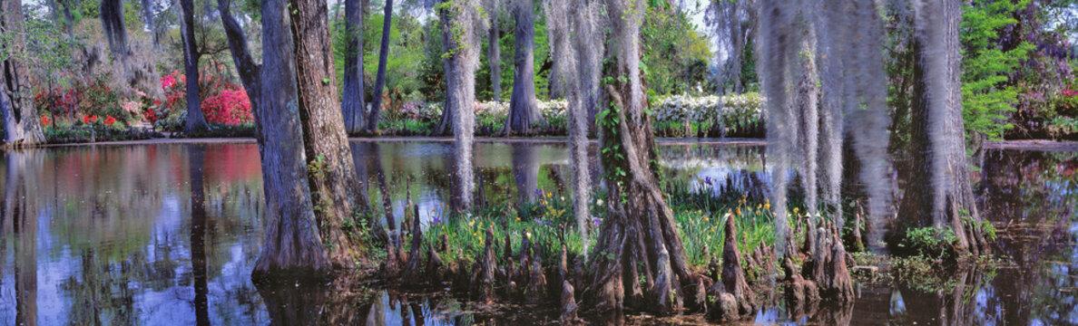USA, South Carolina, Magnolia Plantation. Baldcypress and azalea are the main foliage at Magnolia Plantation near Charleston, South Carolina.