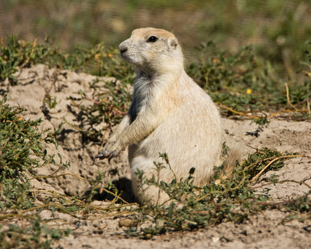 White Prairie Dog, Burrow, Prairie Homestead, Phillip South Dakota, USA