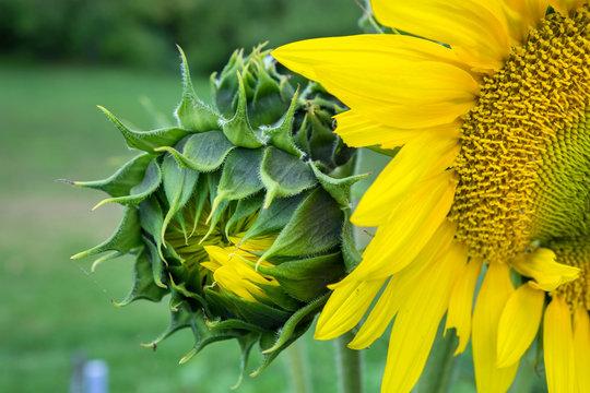 Sunflower, Vermont, USA
