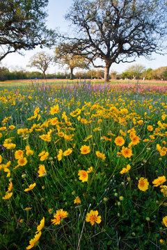 Roadside wildflowers in Texas, spring