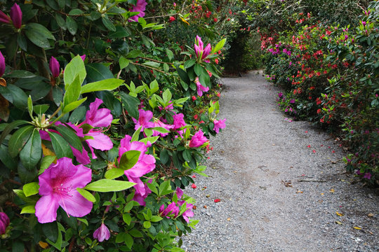 Rhododendron along pathway, Magnolia Plantation, Charleston, South Carolina