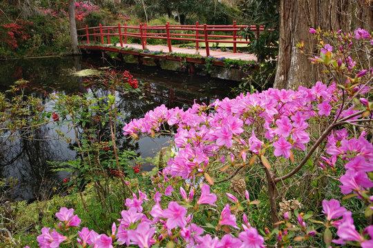 Blooming azalea and red bridge, Magnolia Plantation, Charleston, South Carolina