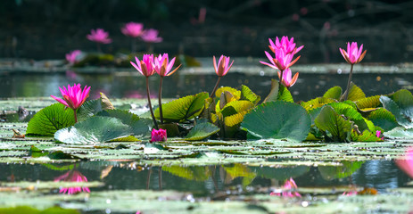 Keuken foto achterwand Waterlelies Water lilies bloom in the pond is beautiful. This is a flower that represents the purity, simplicity