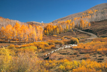Wall Mural - USA, Utah, Zion NP. Sheep moves up a hill in autumn on the Kolob Plateau above Zion National Park, Utah.