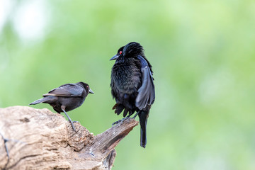 USA, Texas, Gatesville, Santa Clara Ranch. Bronzed cowbird in mating display with female.