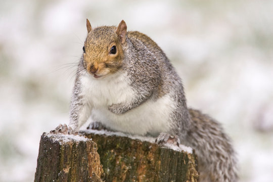 Issaquah, Washington State, USA. Western grey squirrel (Sciurus griseus) with his fur all fluffed up to insulate it from the cold, perched on a snow-covered stump, using it as a lookout.