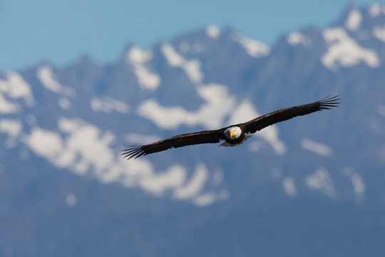 Bald eagle and the Olympic Mountains