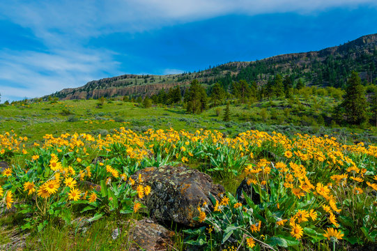 USA, Washington, Wenatchee. Balsam root blooms in the spring in the Wenatchee hills.