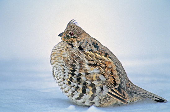 USA, Wyoming, Yellowstone National Park. Portrait of ruffed grouse sitting in snow bank.