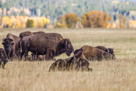 USA, Wyoming, Grand Teton National Park, Jackson Valley Meadow. Grazing bison and Fall color