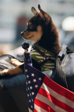 USA, WA, Puget Sound. WSF from Whidbey Island to Mukilteo. Motorcycle decorated for Memorial Day. Puppy in back satchel humorous