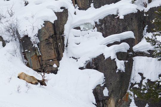 Rocky Mountain Bull Elk, Winter
