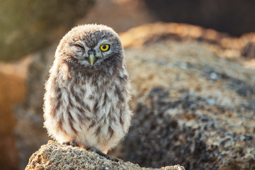 Fototapete - Young Little owl, Athene noctua, stand on the stones with one eye open