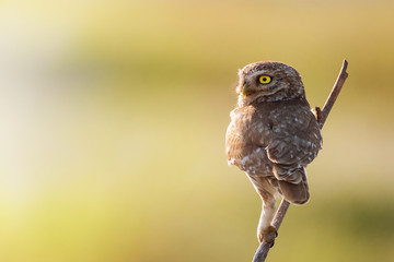 Fototapete - Little owl, Athene noctua,sitting on a stick against a blurred natural background. With copy space
