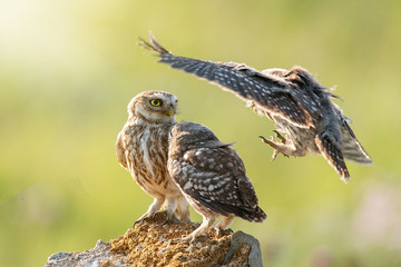 Fototapete - Three Little owls, Athene noctua, stand on the stone against a blurred natural background