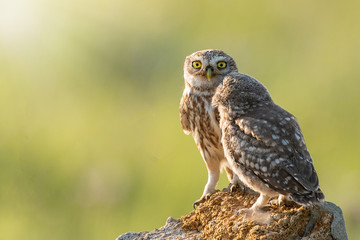 Fototapete - Two Little owls, Athene noctua, stand on the stone against a blurred natural background. With copy space