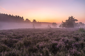 Fototapeten Rosa hell Landscape photo from the heather, here is an atmospheric Sunrise on the Teut in Limburg, Belgium