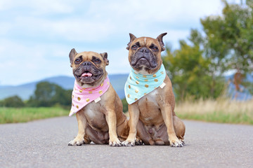 Tow similar looking brown French Bulldogs sitting next to eacth other wearing matching baby blue and baby pink neckerchiefs