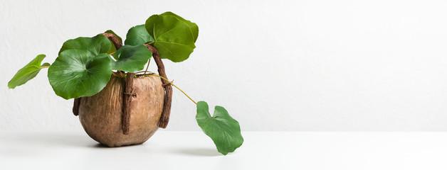 Fototapeta Evergreen plant with round leaves in unusual pot obraz