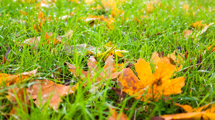 a colorful orange autumn leaves on green grass field