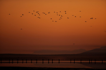 Volunteers wade across the lagoon at dawn to gather flamingo chicks and place them inside a corral in the Fuente de Piedra natural reserve, near Malaga