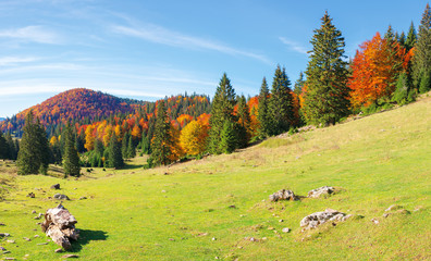 apuseni natural park in autumn. amazing morning scenery of varasoaia meadow, bihor, romania. forest on the mountain in fall color. spruce trees in the valley. sunny weather with high clouds.