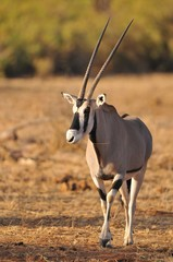 Photo sur Plexiglas Antilope Oryx in Knya