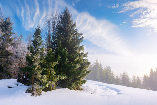 enchanted winter scenery. tall spruce trees  on a snow covered meadow in foggy morning light. beautiful christmas background with copyspace. clouds on the sky