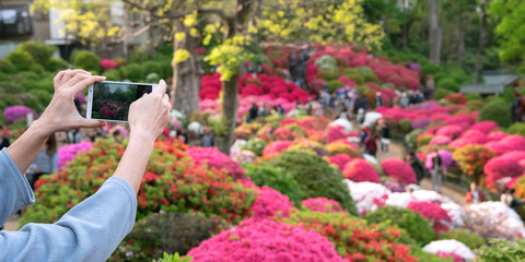 Female hands photographing Japanese azalea garden with smartphone ツツジ咲く日本庭園の写真をスマホで撮る女性