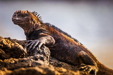 Sea iguanas. The Galapagos marine iguana. Lizard from the beach of the Galapagos Islands. Guayaquil. Ecuador. Pacific ocean. The Fauna Of Ecuador