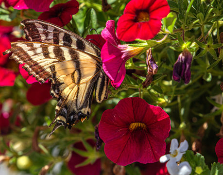 Western Tiger Swallowtail Hidden in Red Petunia Flower, Ouray, Colorado