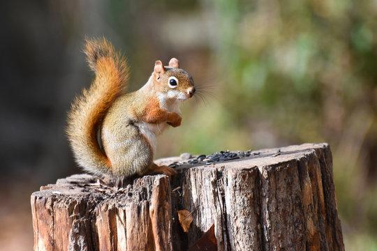 American Red Squirrel (Tamiasciurus hudsonicus) on a tree stump