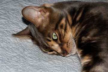 Male five year old Corsican Blue Marbled Bengal domestic cat, breed derived from the Asian Leopard