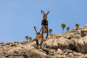Fototapeta Very rare Walia ibex fighting, Capra walia, rarest ibex in world. Only about 500 individuals survived in Simien Mountains in Northern Ethiopia, Africa obraz