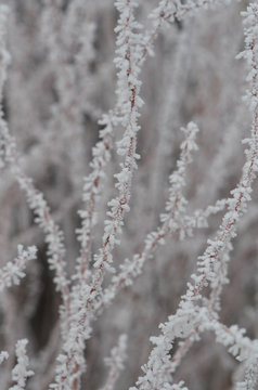 Frosty Dogwood Branches