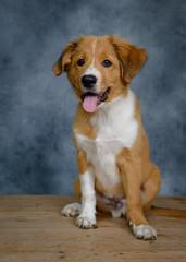 Bordertoller mix breed puppy