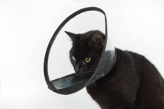 Black cat in the plastic collar which is put on on a neck during the postoperative period. The pet sits on the white  background